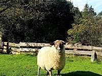 Naše ovečky - pronájem chalupy Ostravice
