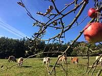 Chalupa u Kapličky krávy - může se stát, že budou bydlet za plotem na louce - k pronájmu Tichá na Moravě