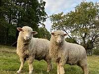 ovečky jsou zde každým rokem - chalupa k pronajmutí Tichá na Moravě