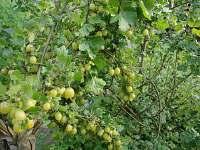 Možnost ovocných plodů přímo ze zahrady