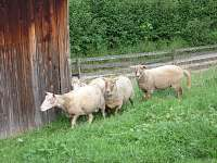 ovečky všude kolem - chalupa k pronájmu Rajnochovice