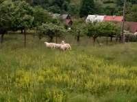 Ovečky na zahradě - Nový Hrozenkov