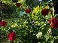 růže - Velké Karlovice
