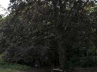 400 letý buk s houpačkou