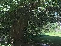 Stará lípa s houpačkou na západní straně - chalupa ubytování Syřenov
