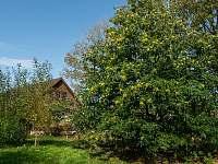 Kolem domu je řada pohádkových stromů. Např. jedlý kaštan, lípa, staré ořechy. - chalupa k pronájmu Chuchelna - Lhota