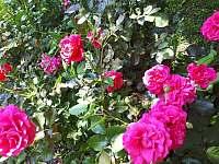 červen , růže v zahradě - Samšina