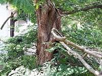 metasekvoj vzácná dřevina vysazená před 34 lety - Samšina
