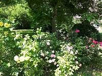 růže v zahradě - Samšina