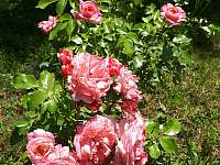 růže v zahradě červen - Samšina