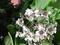 květy indiánského  stromu