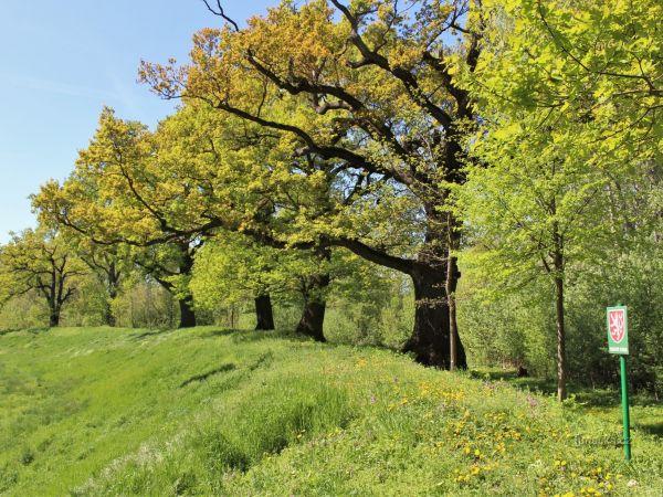 Dolnověstonické duby