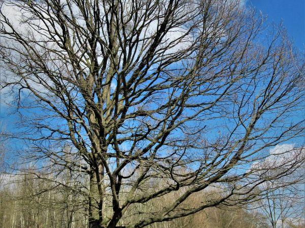 Hodonín - Starý dub v lese Očov