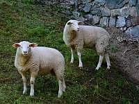 Ovečky hned vedle chalupy - Malá Morava - Vlaské