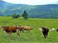 kousek dál můžete potkat stádo našich kraviček od jara už s telátky - Domašov