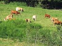 krávy na pastvě nad chalupou - Janov
