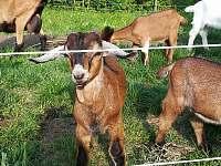 Náš chov koz - Nová Červená Voda