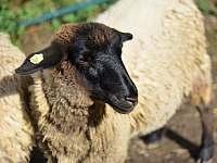 Vlastní chov ovcí - Hodkovice nad Mohelkou- Záskalí