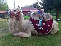 velbloud v Hraběticích -