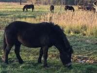 Exmoorský pony - chalupa k pronájmu Holičky