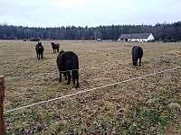 Exmoorský pony - chalupa k pronajmutí Holičky