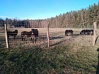 Exmoorský pony - chalupa ubytování Holičky