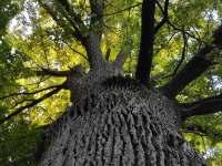 Památný starý dub u statku - Horní Chrášťany