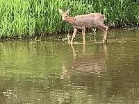 srnka chodící pít k řece naproti chatě - Soběslav