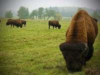 Bizoní farma - Blato u Nové Bystřice - Česká Kanada