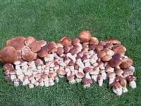 Když zde rostou houby...