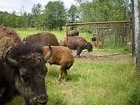 Bizoní stáda jsou kousek od nás, ve Veclově a Rožnově - Albeř