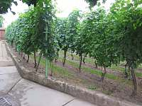 Vinice na zahradě