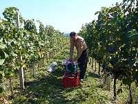 práce ve vinohradě