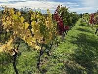 Vinohrad na podzim - Dyjákovice