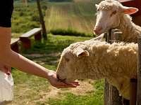 naše ovečky - Bukovany u Kyjova