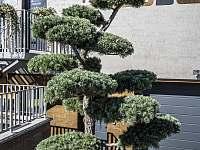 Japonská bonsai (Borovice drobnokvětá) - ubytování Tasovice