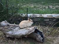 Náš mazlící králík Boris - chalupa k pronájmu Mikulovice u Znojma