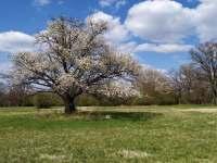 Pohled na rozkvetlý strom v CHKO - Kněždub