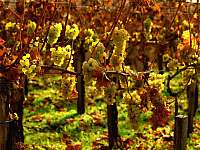 Vína z vlastní produkce - Vranovice