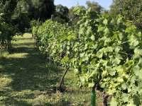 vinice zahrada - pronájem chalupy Dolní Věstonice