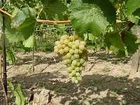 Náš vinohrad