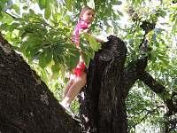 Třešně máme na zahradě každý rok - děti natrhají a máma upeče buchtu:-)