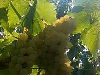 Z naší vinice..