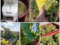 sběr vína - chalupa k pronajmutí Uherčice
