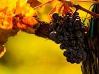 Vinná réva - Vrbice