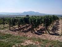 naše vinice v Popicích -