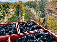vinobraní 2019 - Popice