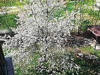 Naše třešeň v jarním rozpuku - Česká Lípa