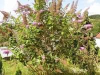 Motýlí strom - Malé Svatoňovice