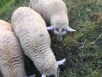 Naše ovečky - Pec pod Sněžkou